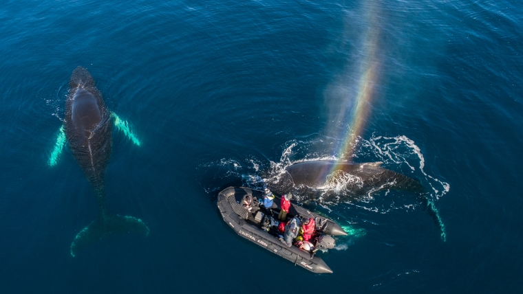 overhead image of whales in the ocean with a small boat floating near them.